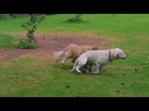 Two Dogs Wrestling & Play Fighting - Yellow Lab & Golden Retriever - Waimea, Kauai, Hawaii