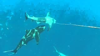 BULL SHARK ATTACKS ANOTHER SHARK!!!!