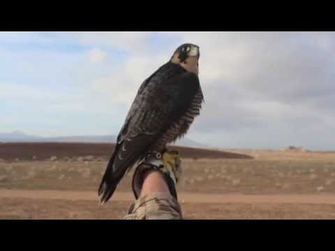Peregrine Falcon catches a Wigeon