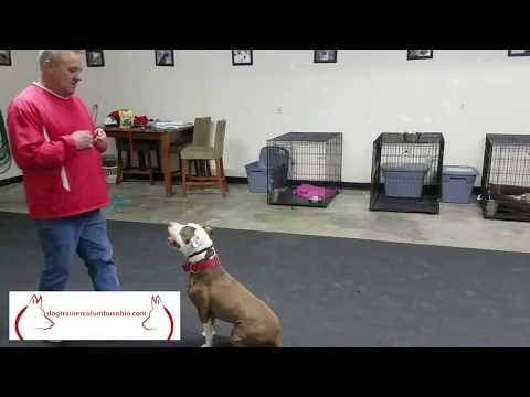 Top Columbus Ohio Dog Training with Terry Cook: Chance the Pitbull Public Access Training