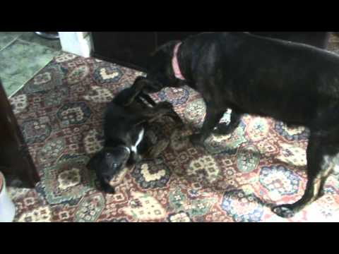 Adult Dog And Puppy Play Fighting