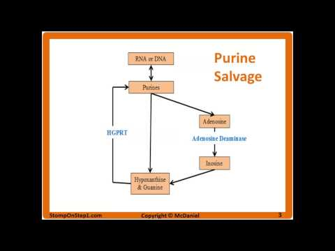 Purine Salvage Pathway, Lesch-Nyhan Syndrome, SCID Gout treatment Allopurinol Uric Acid Renal Stone