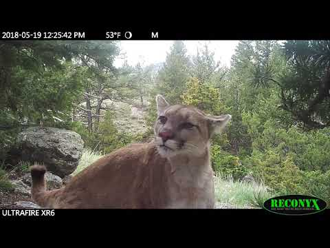 Mountain Lion inspecting camera