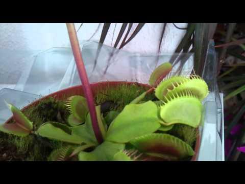 Poor fruit fly =( Venus fly trap