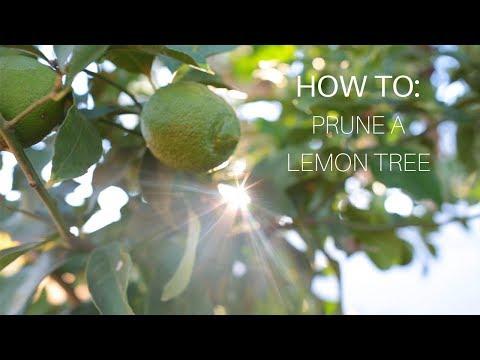 How To: Prune a Lemon Tree