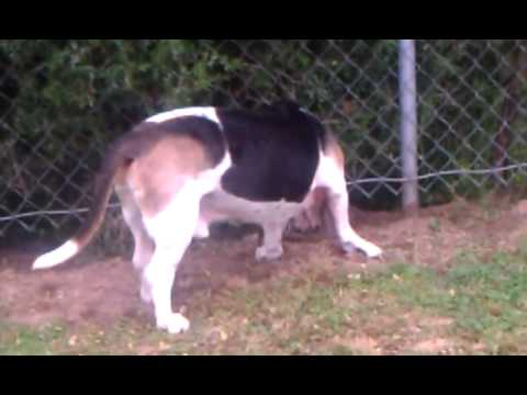 Basset Hound Cancer : Lymphoma Dog Loving Life Baking Soda Treatment Case PH Stunts Cancer