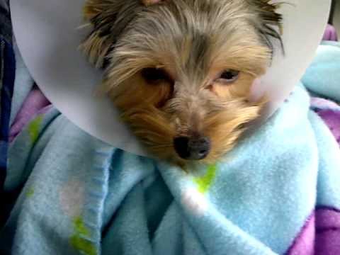 Maggie: Yorkie Puppy - On the Way Home from Being Spayed at the Vet