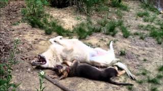 Wolf vs German Shepherd Puppy!!!