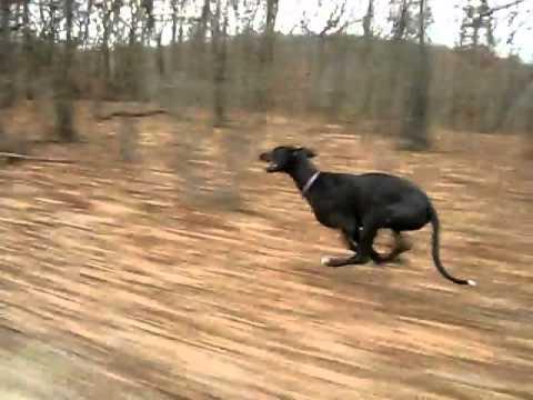 Dog running at 40 mph
