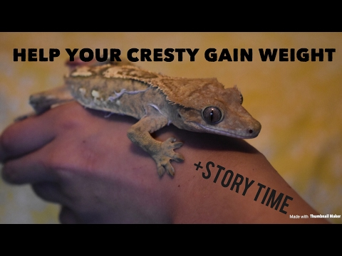 How to help your crested gecko gain weight ~~ Crested gecko almost died story time