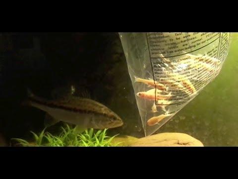 Feeding my fish LIVE MINNOWS!!!