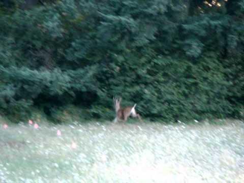 Blacktail Deer-Willamette Unit