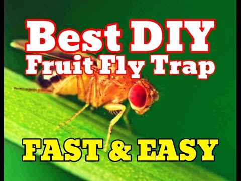 [NEW] How To Get Rid Of Fruit Flies Fast [PROOF] - Best DIY Homemade Fruit Fly Trap Remedy