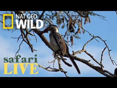 Safari Live - Day 156 | Nat Geo Wild