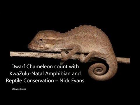Dwarf Chameleons count