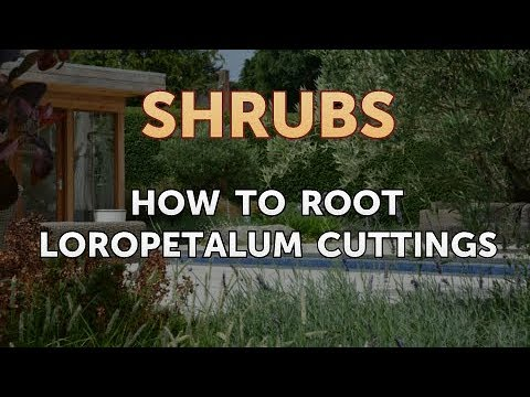 How to Root Loropetalum Cuttings