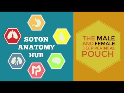 The Male and Female Deep Perineal Pouches