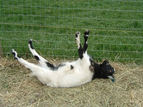 Best of Fainting Goats | EpicVirals | [HD]