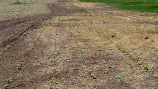 """Сеем кукурузу и подсолнечник прямо в дорогу.  Технология No-Till. КФХ """"Потапов""""."""