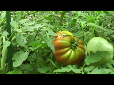 Best tasting Tomatoes and Sweet Peppers to grow in your garden