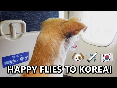 Happy Files to KOREA, United Airlines Dog In-Cabin, 비행기탄 유기견 해피, 애견동반여행 | HAPPY & HAZEL