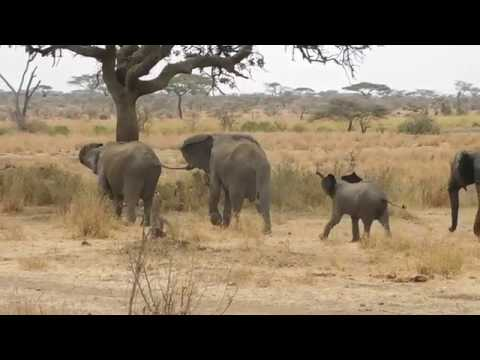 Elephants scare off a pride of lion