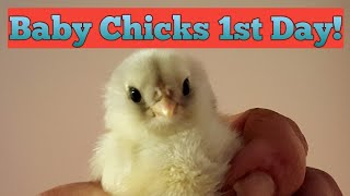 Baby Chicks 1st Day!