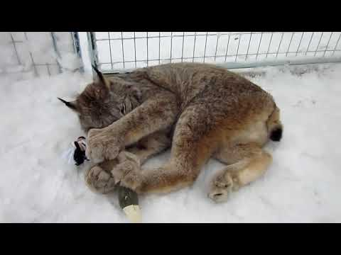 Max Canada Lynx Christmas 2017