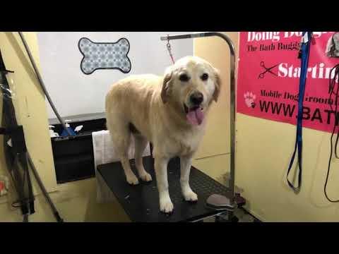 Lucky golden retriever grooming sweet dog