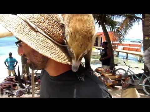 Kiara the coatimundi in Belize