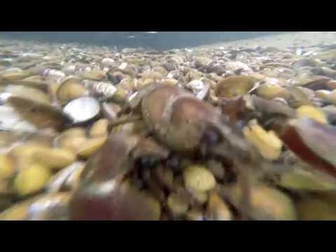 Sand bar crawdad ; Columbia River