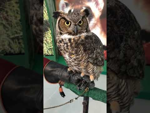 Toronto Zoo CEO Talk With Butters the Great Horned Owl on Facebook LIVE