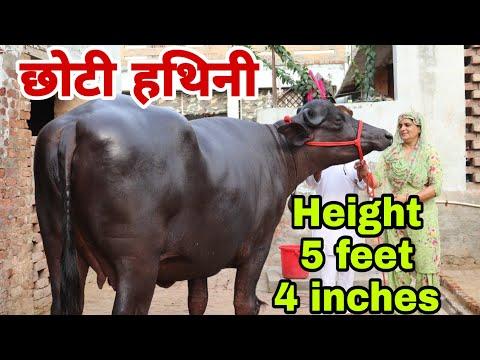 3rd timer murrah buffalo (FOR SALE) at jaynabad dist  Rewari H R