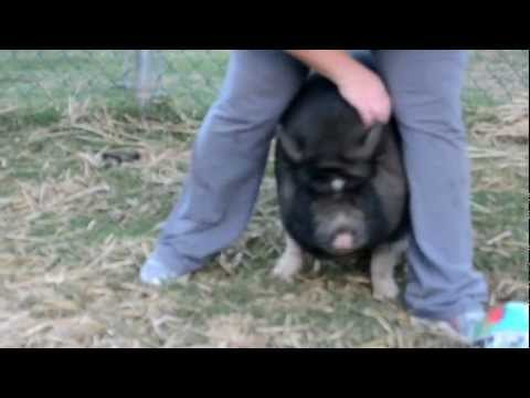 potbelly pig chasing my wife...lol