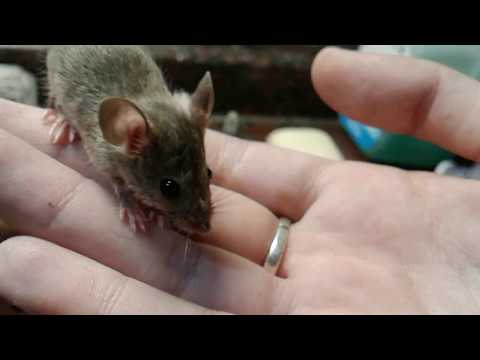 Not All Wild Mice Bite!