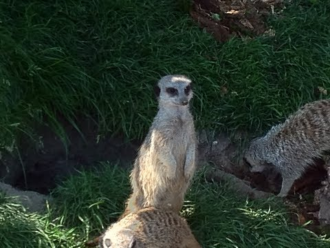 Funny Meerkats at Blair Drummond Safari Park Zoo - Scotland, UK