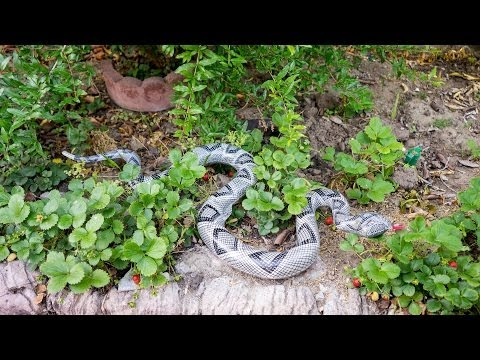 Use a Snake to keep birds away from your vegetables