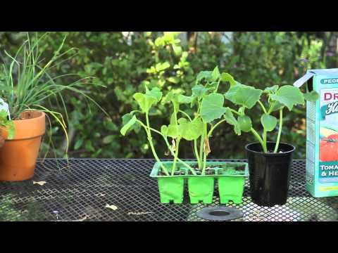 How to Grow Baby Cucumbers For Pickles : Garden Space