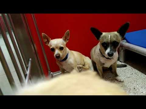 4 Pima Animal Care Center 4-18-18 Adoptable Doggies - Amy Lou & Oreo & Guerra & Bruno
