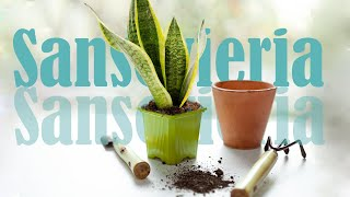 Snake Plant (Sansevieria): propagation, care, transplanting of colorful species
