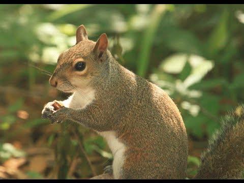 das hungrige Eichhörnchen [HD]
