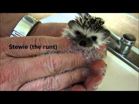 Bath Time for 5 week old baby hedgehogs