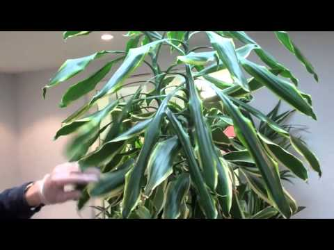 How to prune a dracaena by Nature at Work