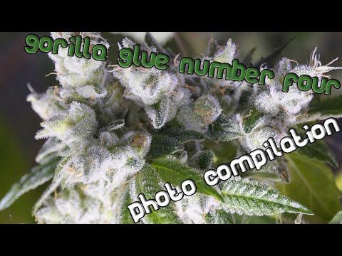 Gorilla Glue #4 Photo/Bud-Porn Mash-up - Late Flower/Pre-Harvest shots!!