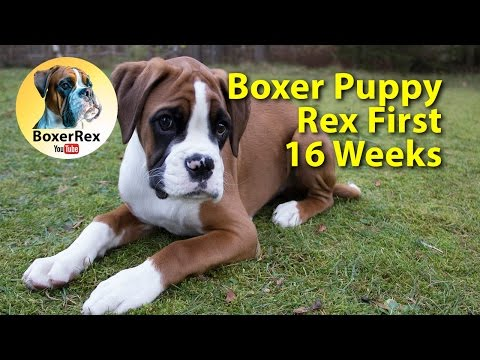 CUTE Boxer Puppy Rex First 16 Weeks ❤️ From Breeder To Home