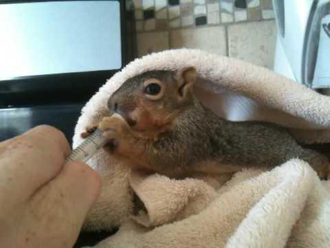Baby squirrel trying formula