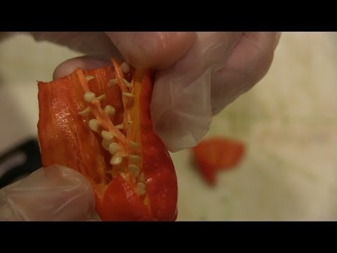 Tips on Harvesting and Saving Ghost Pepper / Scorpion Butch T Seeds