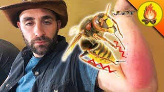 Giant Hornet KNOCKS OUT Coyote!