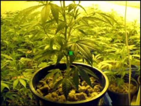 Growing Marijuana by Limbo following till week 2 / www.limbo-co.com