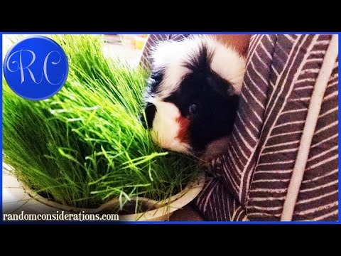 Fresh Grass for Guinea Pigs Grown Indoors - Episode 44